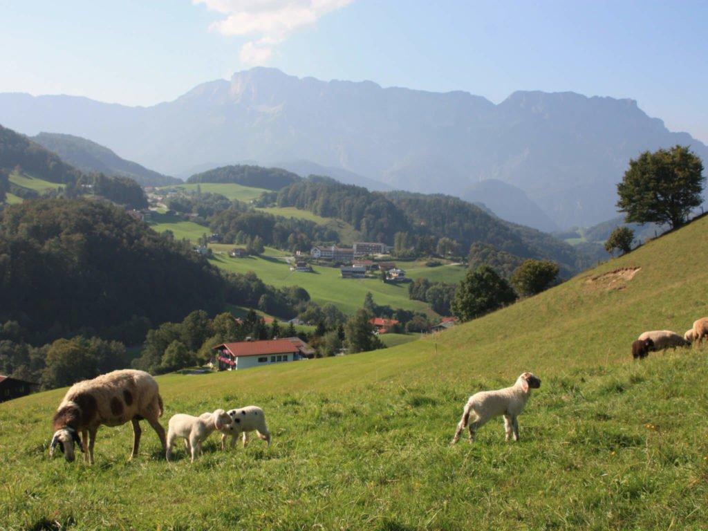 tvb-hallein-duerrnberg-wandern-schornhoehe-schafe